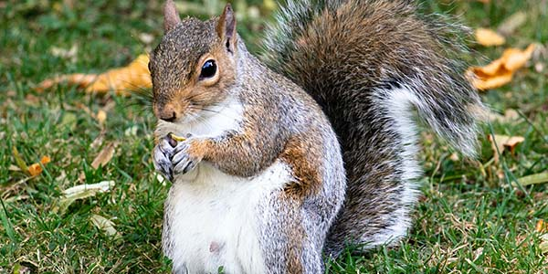 fat squirrel eating a nut
