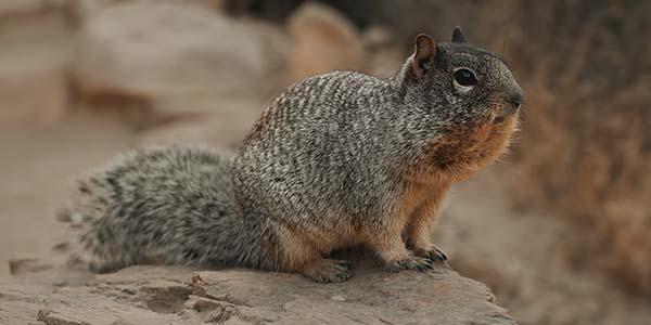 fat ground squirrel in arizona