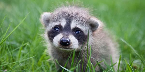 raccoon baby in a field