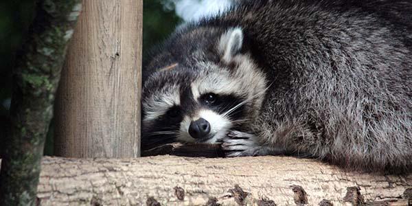 old raccoon on a tree limb