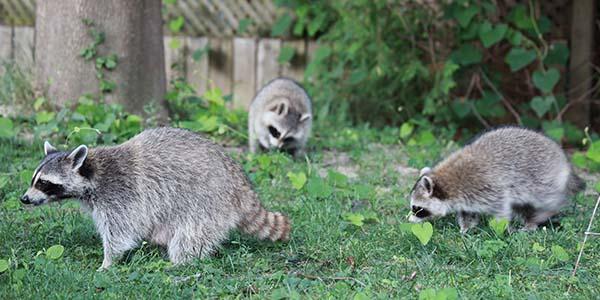 raccoon pack traveling through a yard