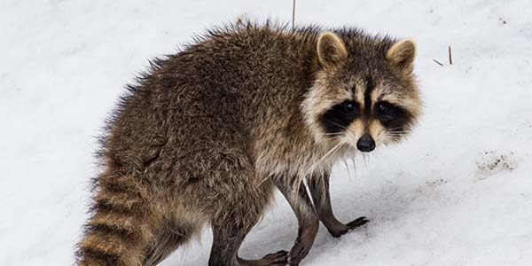 raccoon walking through snow
