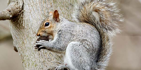 old grey squirrel eating a nut