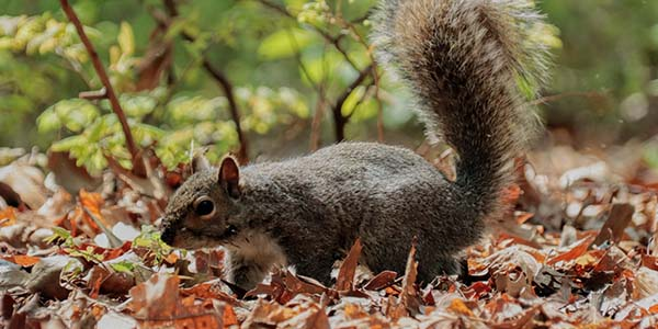 squirrel roaming along forest floor
