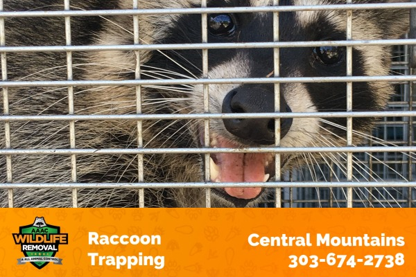 Raccoon Trapping Central Mountains