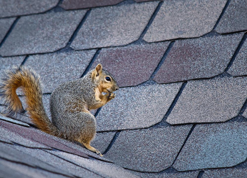 Evergreen Wildlife Removal professional removing pest animal
