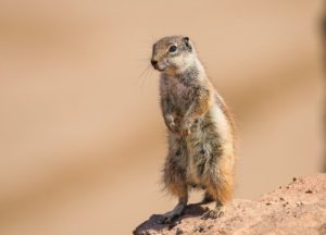 Gopher on a rock
