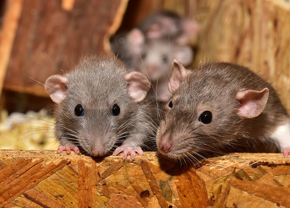 Idaho Springs Wildlife Removal professional removing pest animal