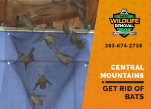 get rid of bats central mountains