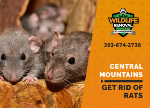 get rid of rats central mountains