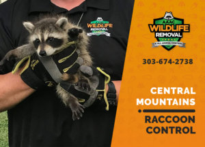 raccoon control central mountains