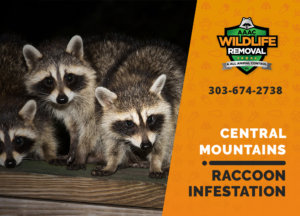 infested by raccoons central mountains