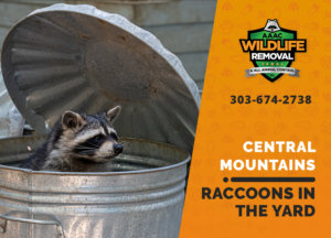 raccoons in my yard central mountains