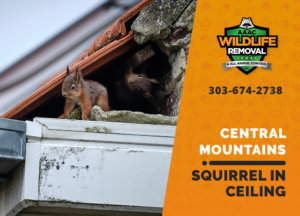 squirrel stuck in ceiling central mountains