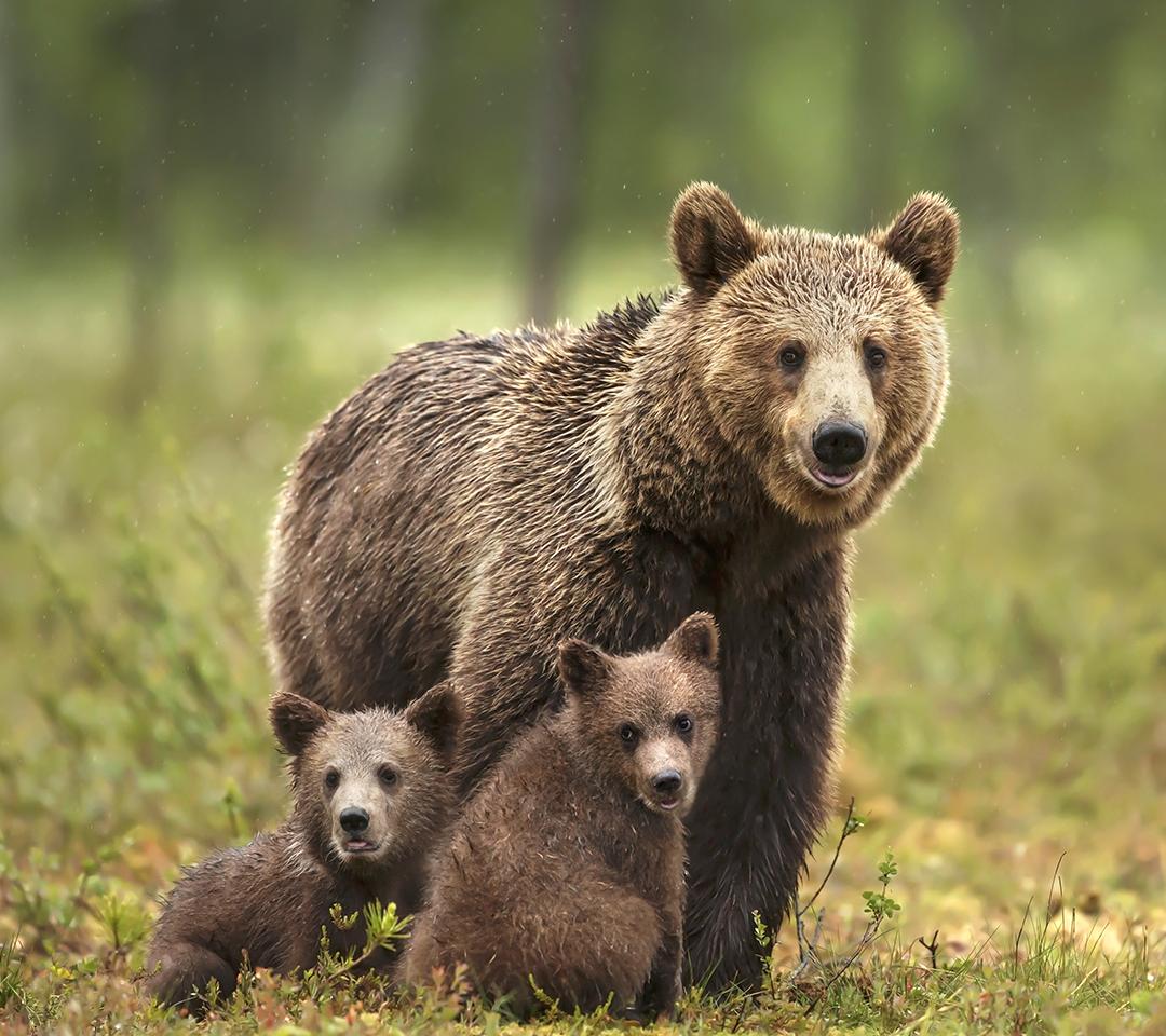 Bears in a field