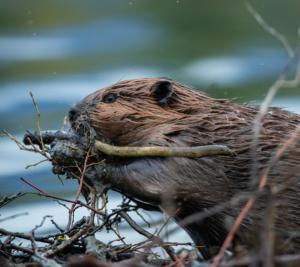 Beaver chewing sticks
