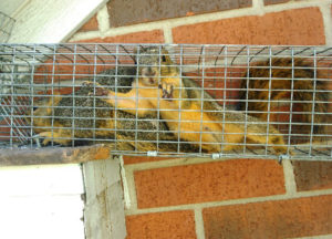 two squirrels trapped in Heath