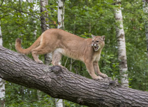 Mountain Lion in the woods