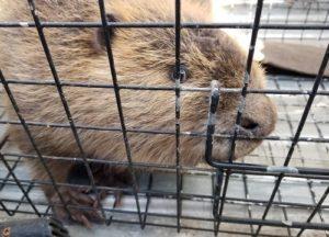 Beaver in a trap