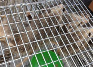 Opossums in a trap