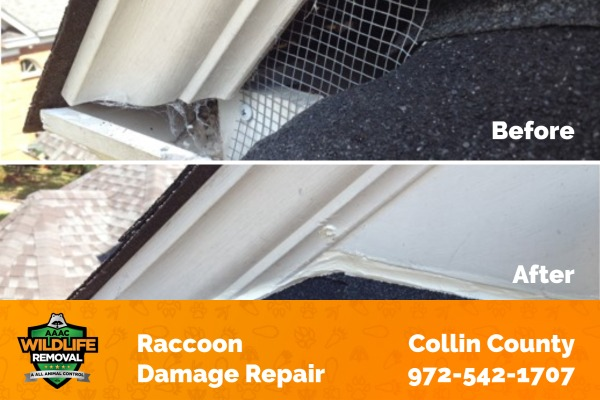 Raccoon Damage Collin County