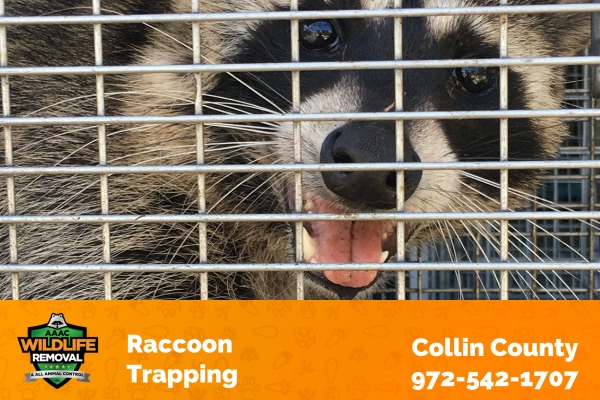 Raccoon Trapping Collin County