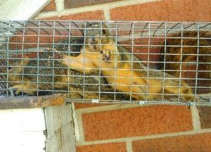 Squirrels in a trap