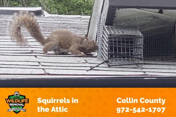 Squirrels in the Attic Collin County