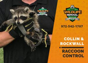 raccoon control collin rockwall