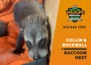 raccoon nest in attic collin rockwall