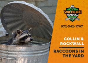 raccoons in my yard collin rockwall