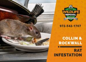 rat infestation signs collin rockwall