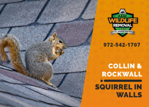 squirrel in the wall collin rockwall