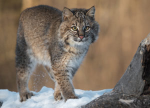 Bobcat in a forest