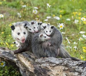 Opossums in a field