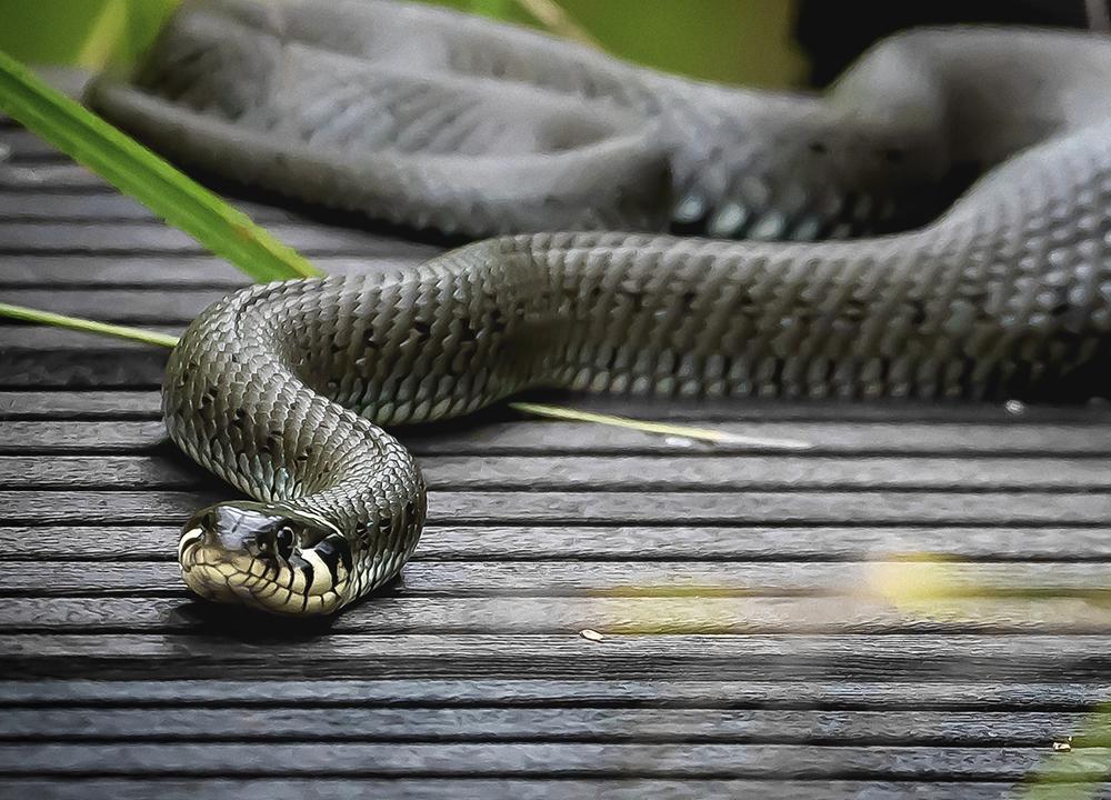 Snake Removal McKinney