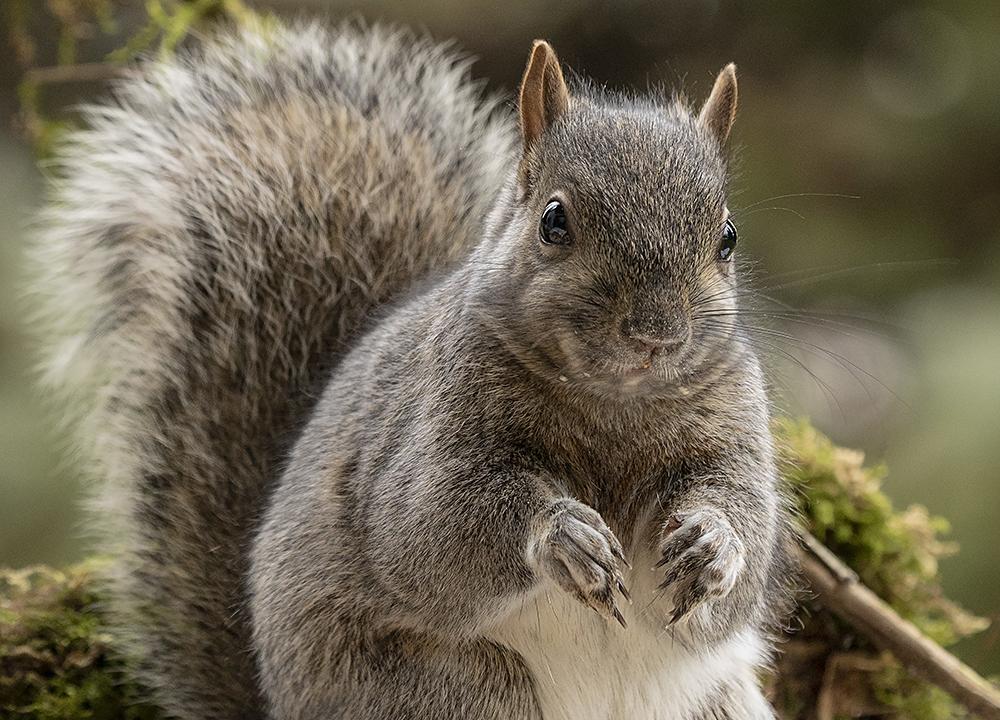 Squirrel Removal Plano