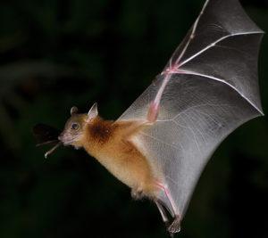 Fying bat