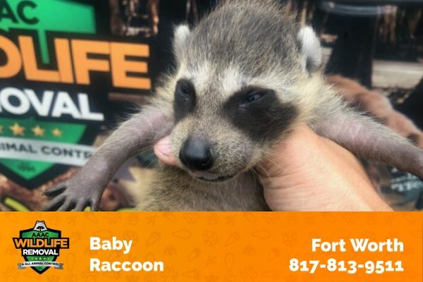 Baby Raccoon Fort Worth