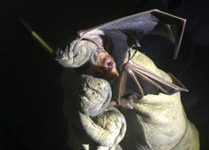 Bat caught in an attic