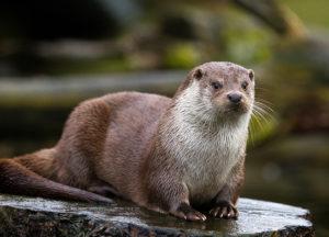 Otter in a field