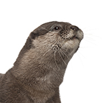 Otter in white background