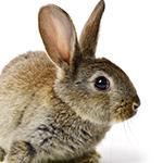 Rabbit in white background