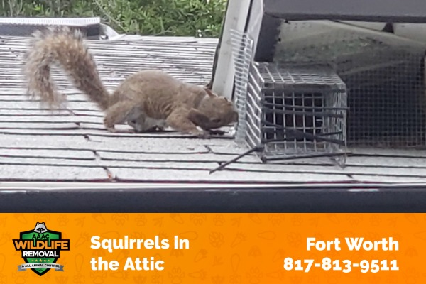 Squirrels in the Attic Fort Worth