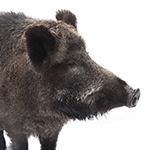 Wild hog in white background