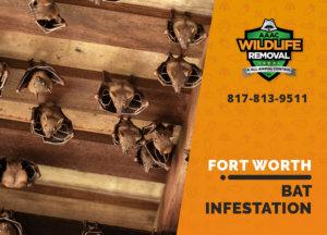 bat infestation fort worth