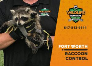raccoon control fort worth