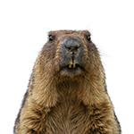 Groundhog in white background