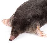 Mole in white background