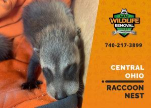 raccoon nest in attic central ohio